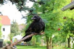 Μαύρος κόρακας, Corvus, corone Το Corvus cornix είναι ένα ευρασιατικό πουλί SP Στοκ Φωτογραφίες