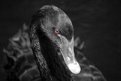 μαύρος κύκνος Στοκ εικόνες με δικαίωμα ελεύθερης χρήσης
