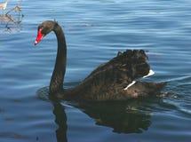 μαύρος κύκνος Στοκ Φωτογραφίες