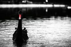 Μαύρος κύκνος Στοκ Εικόνα