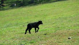 Μαύρος λαμπτήρας που περπατά στο πράσινο γυαλί στοκ εικόνα