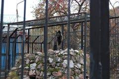 μαύρος λύκος Στοκ Εικόνα