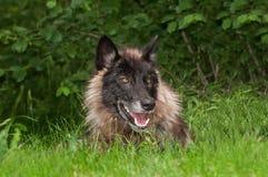 Μαύρος Λύκος Canis λύκων φάσης γκρίζος στη χλόη Στοκ Φωτογραφία