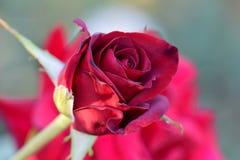 Μαύρος μαγικός κόκκινος φωτοστέφανος μπουμπουκιών τριαντάφυλλου Στοκ φωτογραφίες με δικαίωμα ελεύθερης χρήσης