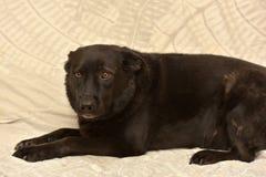 Μαύρος μιγάς δυστυχισμένος σκυλιών Στοκ εικόνα με δικαίωμα ελεύθερης χρήσης