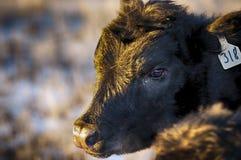 μαύρος μόσχος του Angus Στοκ εικόνα με δικαίωμα ελεύθερης χρήσης