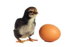 Μαύρος νεοσσός με το αυγό στοκ εικόνες με δικαίωμα ελεύθερης χρήσης