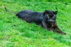 Μαύρος πάνθηρας σε έναν ζωολογικό κήπο στη Βαλένθια, Ισπανία Στοκ Εικόνα