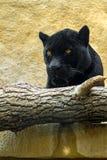 Μαύρος πάνθηρας σε μια περίφραξη ζωολογικών κήπων Στοκ εικόνες με δικαίωμα ελεύθερης χρήσης