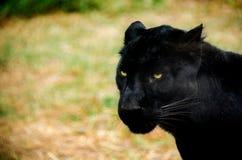 Μαύρος πάνθηρας στο Μορέλια, ζωολογικός κήπος Michoacan Στοκ Εικόνες