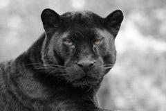 Μαύρος πάνθηρας Στοκ εικόνες με δικαίωμα ελεύθερης χρήσης