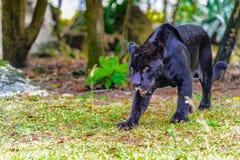 μαύρος πάνθηρας Στοκ Φωτογραφία