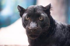 μαύρος πάνθηρας Στοκ Εικόνα