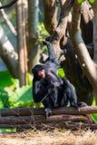 Μαύρος πίθηκος αραχνών Στοκ φωτογραφίες με δικαίωμα ελεύθερης χρήσης