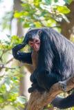 Μαύρος πίθηκος αραχνών Στοκ Φωτογραφία