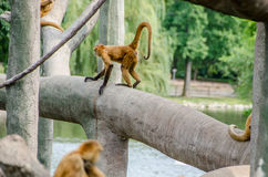 Μαύρος πίθηκος αραχνών Στοκ Εικόνες