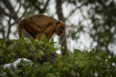 Μαύρος πίθηκος μαργαριταριού που στέκεται στον κλάδο δέντρων Στοκ εικόνες με δικαίωμα ελεύθερης χρήσης