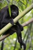 Μαύρος πίθηκος μαργαριταριού - Alouatta Palliata Στοκ Εικόνα