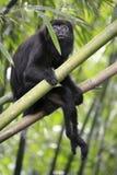 Μαύρος πίθηκος μαργαριταριού - Alouatta Palliata Στοκ Φωτογραφία