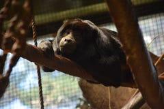 Μαύρος πίθηκος μαργαριταριού (caraya Alouatta) Στοκ Φωτογραφίες