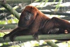Μαύρος πίθηκος μαργαριταριού - caraya Alouatta Στοκ Εικόνες