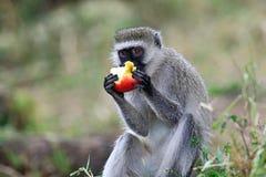 μαύρος πίθηκος προσώπου Στοκ φωτογραφίες με δικαίωμα ελεύθερης χρήσης