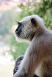 μαύρος πίθηκος προσώπου Στοκ φωτογραφία με δικαίωμα ελεύθερης χρήσης