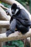 Μαύρος πίθηκος Στοκ Φωτογραφία