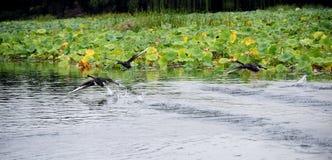 μαύρος πετώντας κύκνος Στοκ Εικόνα