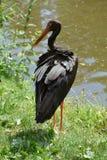 Μαύρος πελαργός (nigra Ciconia) Στοκ φωτογραφία με δικαίωμα ελεύθερης χρήσης