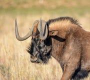 μαύρος πιό wildebeest Στοκ Φωτογραφίες