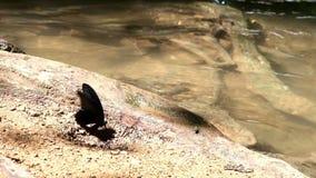 Μαύρος πολύχρωμος μικρός καταρράκτης πεταλούδων στο τροπικό δάσος απόθεμα βίντεο