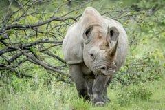 Μαύρος ρινόκερος με πρωταγωνιστή στη κάμερα Στοκ εικόνες με δικαίωμα ελεύθερης χρήσης