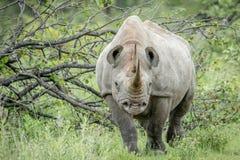 Μαύρος ρινόκερος με πρωταγωνιστή στη κάμερα Στοκ Εικόνα