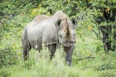 Μαύρος ρινόκερος με πρωταγωνιστή στη κάμερα Στοκ Φωτογραφίες