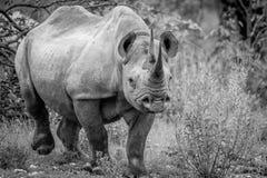 Μαύρος ρινόκερος με πρωταγωνιστή στη κάμερα Στοκ Εικόνες