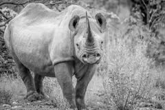Μαύρος ρινόκερος με πρωταγωνιστή στη κάμερα Στοκ εικόνα με δικαίωμα ελεύθερης χρήσης