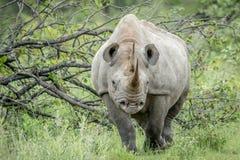 Μαύρος ρινόκερος με πρωταγωνιστή στη κάμερα Στοκ φωτογραφίες με δικαίωμα ελεύθερης χρήσης