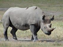Μαύρος ρινόκερος που περπατά στη σαβάνα της Αφρικής που αντιμετωπίζει δεξιά στοκ εικόνες