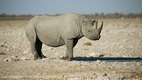 Μαύρος ρινόκερος σε ένα waterhole - Etosha απόθεμα βίντεο