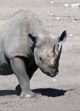 μαύρος ρινόκερος της Ναμίμ& Στοκ εικόνα με δικαίωμα ελεύθερης χρήσης