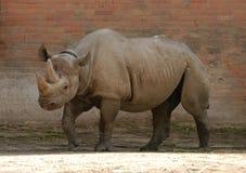 μαύρος ρινόκερος Στοκ Φωτογραφίες