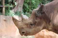 μαύρος ρινόκερος Στοκ εικόνα με δικαίωμα ελεύθερης χρήσης