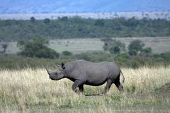 μαύρος ρινόκερος Στοκ Εικόνες