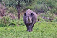 Μαύρος ρινόκερος Bull - σπάνιο και είδος απειλούμενο με εξαφάνιση - ο περίπατος για τη ζωή Στοκ Εικόνα