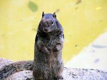 Μαύρος σκίουρος που στέκεται επάνω Στοκ Εικόνα