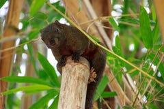 Μαύρος σκίουρος στα δέντρα Στοκ Φωτογραφία