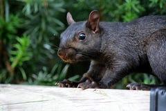 μαύρος σκίουρος Στοκ φωτογραφίες με δικαίωμα ελεύθερης χρήσης