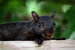 μαύρος σκίουρος Στοκ Φωτογραφία