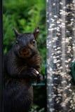 μαύρος σκίουρος Στοκ Εικόνες